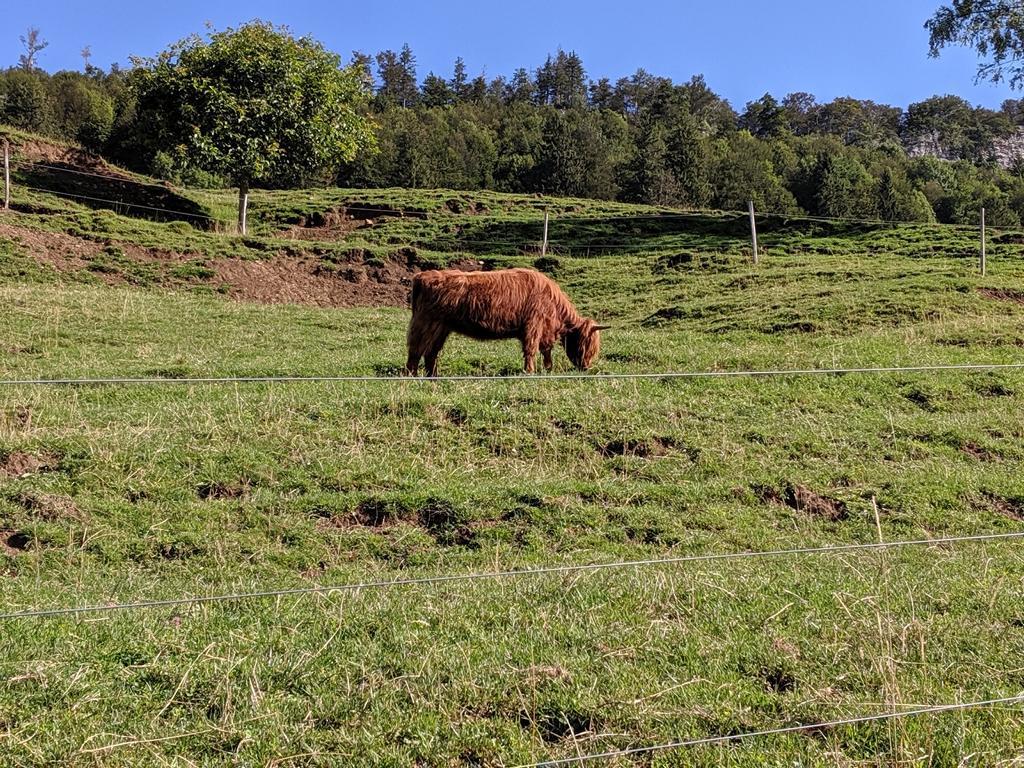 Zottelige Rinder im Jura